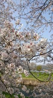お花見�A.jpg