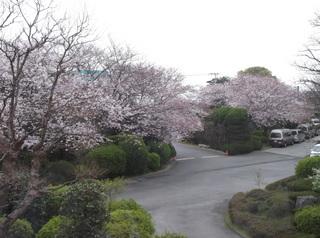 桜だより�B.JPG