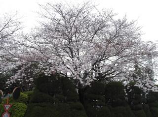 桜だより�C.JPG