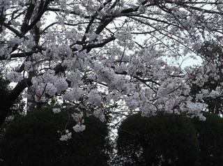 桜だより�D.JPG