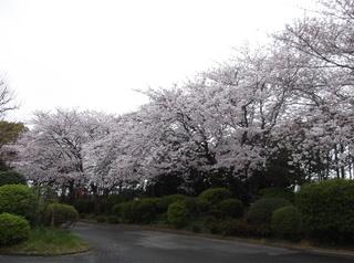 桜だより�E.JPG