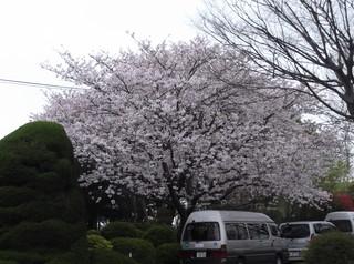 桜だより�F.JPG