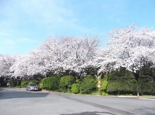 桜だより�H.JPG
