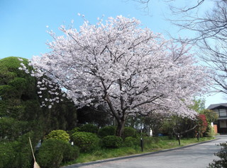 桜だより�I.JPG