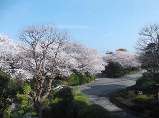 桜だより�J.JPG