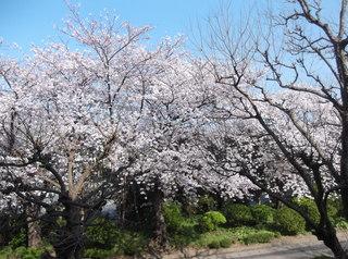桜だより�K.JPG