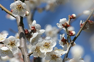 梅の花�A.jpg