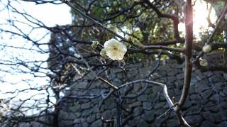 梅の香�A.JPG