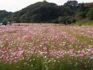 秋桜�C.JPG