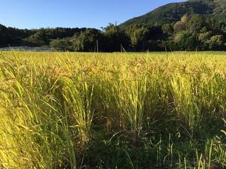 米作り�A.JPG