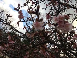 緋寒桜�A.JPG