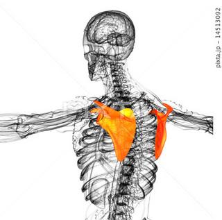 肩甲骨�D.jpg
