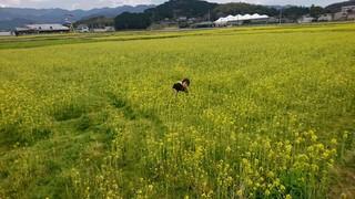 菜の花�B.JPG