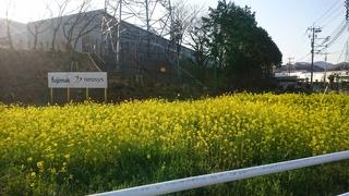 見頃の菜の花.JPG